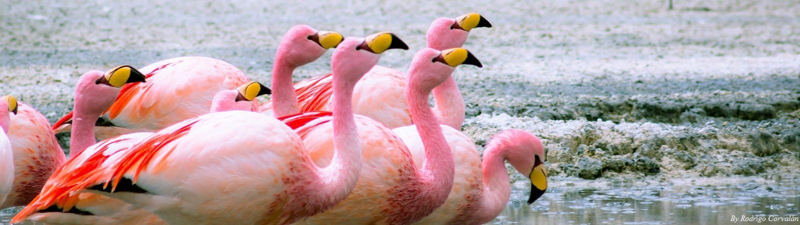 Uyuni Flamingos
