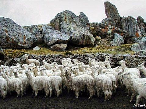 4x4 Tour Alpacas Macusani