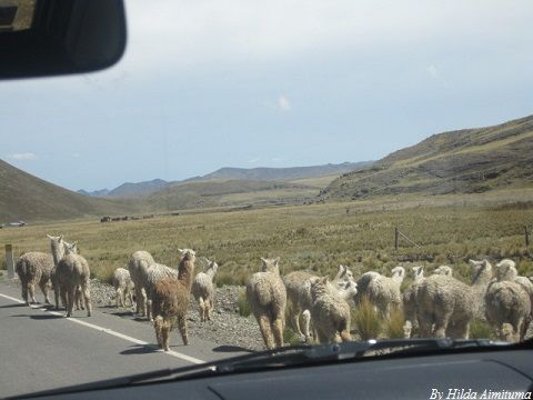 4x4 Tour Alpacas in the Route